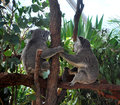 Two Koalas holding hands and looking away, sitting on a branch Royalty Free Stock Photo