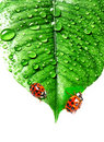 Two ladybirds on a dewy leaf Royalty Free Stock Photography