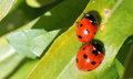 Two ladybirds or ladybugs. (Coccinellidae) Royalty Free Stock Photo