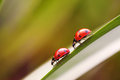 Two ladybugs on a grass stalk Royalty Free Stock Photo