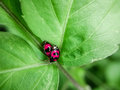 Two ladybugs in love Royalty Free Stock Photo