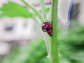 Two ladybugs show love Royalty Free Stock Photo