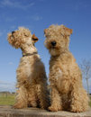 Two lakeland terriers Royalty Free Stock Photo
