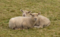 Two lambs cuddled up in a field young snuggled devon england Royalty Free Stock Photo