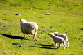 Two lambs following mum new zealand Stock Photos