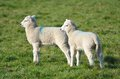 Two lambs together in field Stock Photo