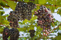 Two large bunches of red wine grapes hang from a vine Royalty Free Stock Photo