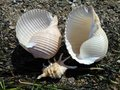 Two large and one small seashells on the shore.