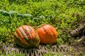 Two large pumpkin growing on vine Royalty Free Stock Photo