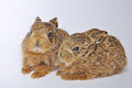 Two leverets young or european hare lepus europaeus also known as the brown hare Stock Image