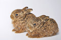 Two leverets young or european hare lepus europaeus also known as the brown hare Stock Images