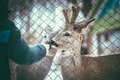 Two liitle baby deer eating from the human hands behind metal mesh Royalty Free Stock Photography