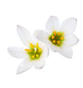 Two lilies Royalty Free Stock Photo