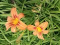 Two lilies in the garden Royalty Free Stock Photo