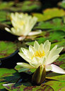 Two lilies on water surface Royalty Free Stock Photo