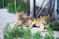 Two lion baby at zoo Stock Image