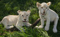 Two Lion Cubs