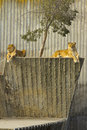 Two lioness resting Stock Images