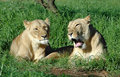 Two lionesses Stock Images