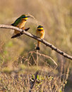 Two Little Bee-eaters in the sun Royalty Free Stock Photo