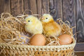 Two little chickens in a nest Stock Photography