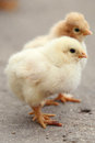 Two little chickens small white fluffy Royalty Free Stock Photography