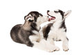 Two little cute puppy of Siberian husky dog with blue eyes isolated Royalty Free Stock Photo