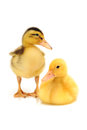 Two little ducks Royalty Free Stock Photography