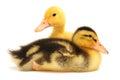 Two little ducks Stock Image
