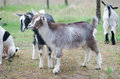 Two little goats on the farmyard Royalty Free Stock Photo