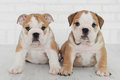 Two little happy English bulldog puppy. Royalty Free Stock Photo