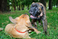 Two little puppies Bullmastiff Royalty Free Stock Photography