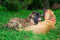 Two little puppies Bullmastiff Royalty Free Stock Image