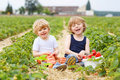Two little sibling boys having fun on strawberry farm Royalty Free Stock Photo