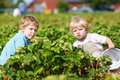 Two little twins boys on pick a berry farm picking strawberries in bucket Stock Photography