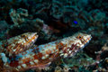 Two lizardfish on reef.  Indonesia Sulawesi Stock Image