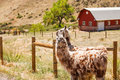 Two Llamas by Fence Stock Photos