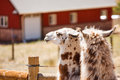 Two Llamas in Pen Near Red Barn Royalty Free Stock Photos