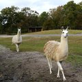 Two llamas in a safari park white strut past observers at Stock Photography