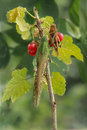 Two locust sits  on a branch red currant Royalty Free Stock Photo