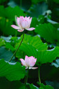Two Lotus flowers Stock Images