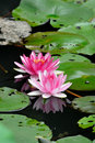 Two lotus flowers pink with green leaves Royalty Free Stock Image