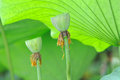 Two lotus seed pod with green leaves Stock Photos