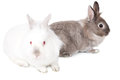Two lovable easter bunnies one curious little white one facing the camera and a pretty little grey cottontail in profile facing to Stock Images