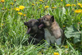 Two lovely charming puppies of Laika breed lie in summer grass a