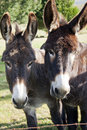 Two lovely donkey's Royalty Free Stock Photo
