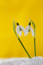 Two lovely snowdrop flowers on white studio snow Royalty Free Stock Photography