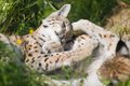 Two lynx plays in the grass eurasian rests and green Stock Photography
