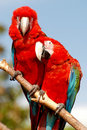 Two macaw parrots sitting together on a branch Royalty Free Stock Photography