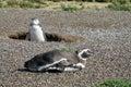 Two magellanic penguins digging burrow the penguin spheniscus magellanicus in south america pinguin breeding in Royalty Free Stock Photo